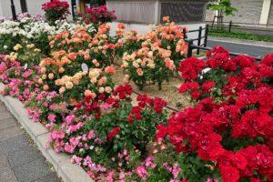 福山で咲くバラ life