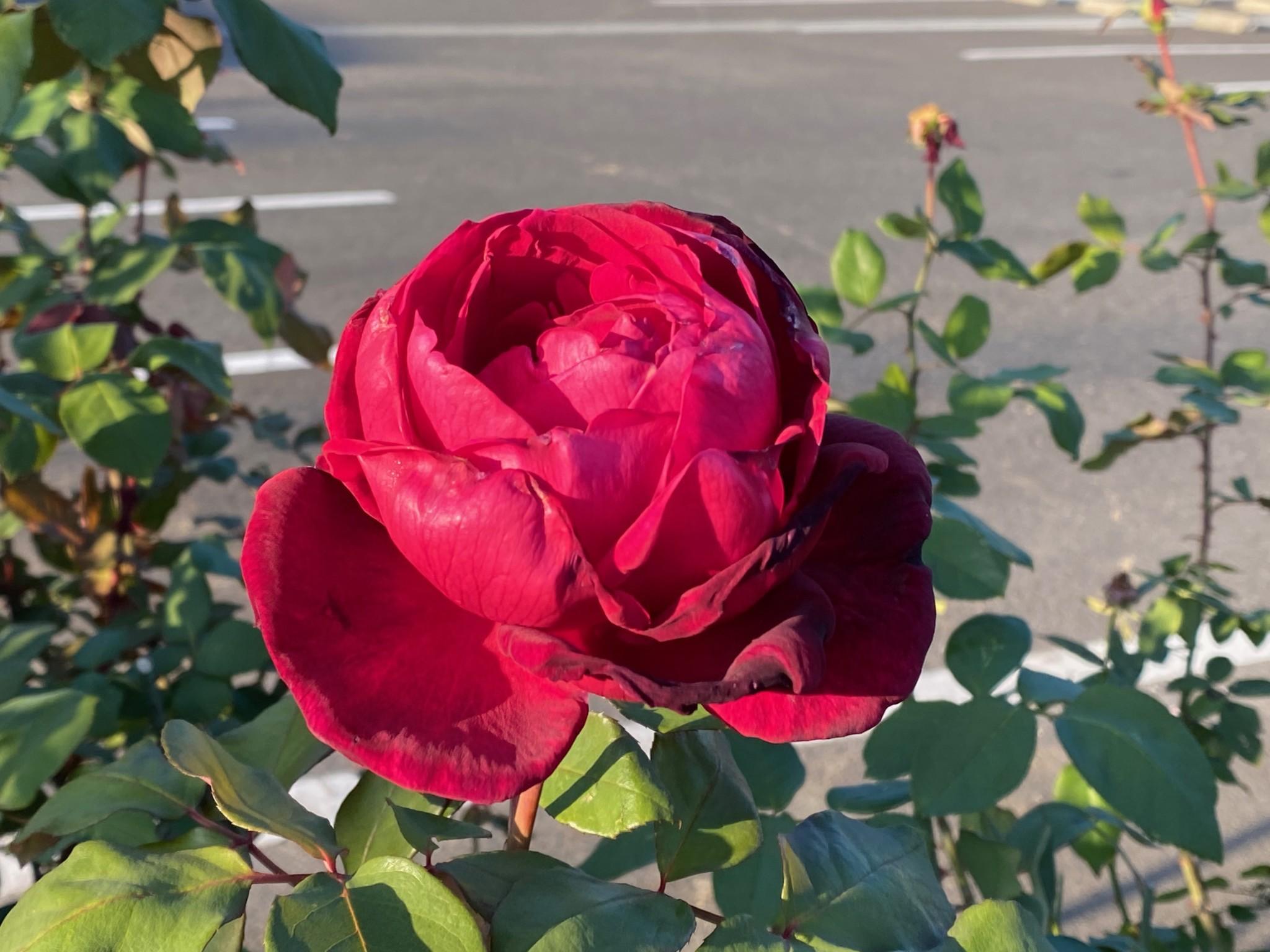 fukuyama rose